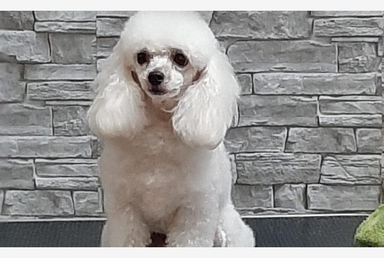 Diploma per Glicy, primo cane allerta-diabiete in Sardegna