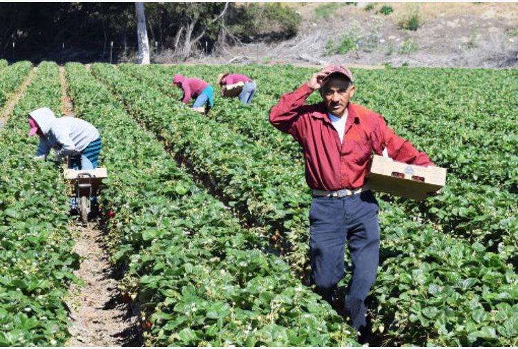 Baristi e camerieri ripiegano sull'agricoltura, ma poi mollano perché troppo faticoso