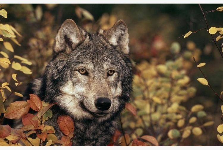 Niente 'pappa pronta' e fotografie: ecco il manuale per convivere in pace con il lupo