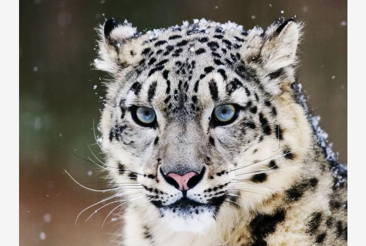 """Il leopardo con gli occhi di ghiaccio. La descrizione """"innamorata"""" su una leggenda naturale"""